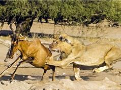 Cảnh tượng sư tử săn giết linh dương
