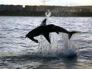 Rợn người trước cảnh cá mập đớp hải cẩu giả