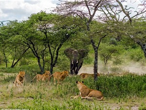 """Voi cái """"sôi máu"""" đuổi đàn sư tử chạy loạn lên cây"""