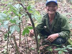 Sâm Ngọc Linh 7 nhánh, 100 tuổi trả 500 triệu đồng không bán