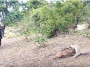 Linh dương đầu bò mẹ đối đầu báo đốm đầy bất lực