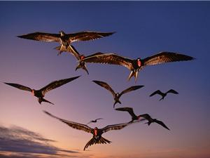 Bí mật của loài chim bay cả tháng không nghỉ