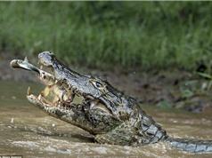 Cá mải tung hứng săn mồi bị cá sấu đớp gọn