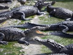 Kinh dị lò mổ lợn xả thải khiến cá sấu tới đông như… kiến