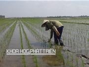 Hiệu quả của công nghệ cấy lúa hiệu ứng hàng biên: Bằng chứng từ đồng ruộng