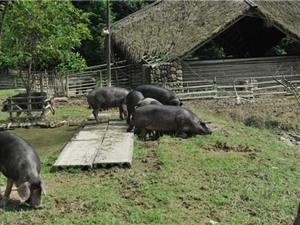 Cuộc sống như mơ của đàn lợn hạnh phúc nhất thế giới