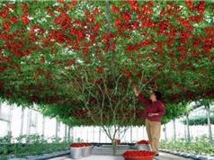 Cây cà chua bạch tuộc cho 32.000 quả mỗi lần thu hoạch