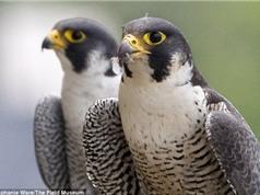 """LẠ: Chim ưng thành phố """"chung thủy"""" hơn chim ưng nông thôn"""