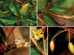 Phát hiện một loài nhót mới ở Lâm Đồng