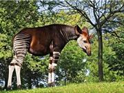 Okapi, loài động vật kỳ lạ bước ra từ chuyện cổ tích