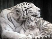 Khoảnh khắc mẹ con hổ trắng âu yếm nhau trong vườn thú