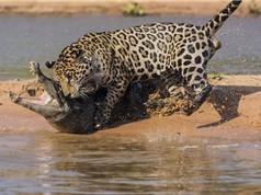 Báo đốm ranh mãnh cắn cổ cá sấu lôi lên bờ