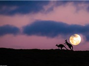 """Kangaroo """"yêu"""" lãng mạn dưới ánh trăng"""