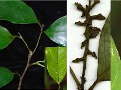 Phát hiện loài Kim mai mới tại Khánh Hòa