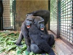 Khỉ đột mồ côi hạnh phúc khi có bạn thân