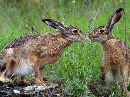 Cận cảnh nghi thức giao phối bạo lực của thỏ nâu
