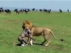 Kinh hoàng sư tử săn giết ngựa vằn sơ sinh