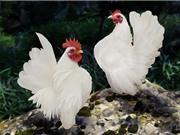 Chiêm ngưỡng vẻ đẹp của giống gà có dáng vương giả