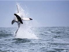 Cận cảnh cá mập trắng lao mình khỏi mặt nước để bắt hải cẩu