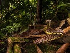 Cận cảnh loài rắn ngọc bích đẹp nhất Việt Nam