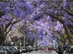 Cây có hoa đẹp gây phiền hà cho nhiều thành phố