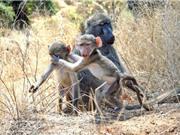 """Tức vì bị chụp trộm, khỉ con """"phản ứng"""" với nhiếp ảnh gia"""