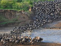 """Cận cảnh cuộc vượt sông """"sinh tử"""" của bầy linh dương"""