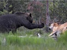 """""""Đại chiến"""" giành mồi của gấu nâu và bầy sói"""