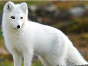 5 loài động vật tuyệt đẹp chỉ có ở Bắc Cực