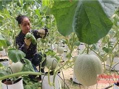 Dưa lưới công nghệ Israel không cần đất ở Nghệ An