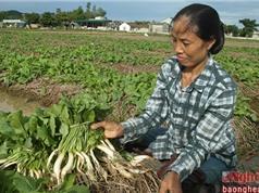 Trồng cải củ trên rơm, nông dân Nghệ An tăng cao thu nhập