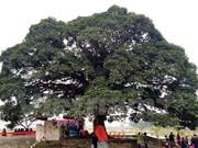 Phát hiện cây dược liệu quý Giảo cổ lam ở Quảng Trị