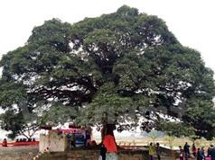 Khẩn cấp cứu cây trôi 1000 tuổi ở Bắc Ninh