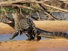 """Clip: Báo đốm châu Mỹ """"xơi tái"""" cá sấu khổng lồ"""