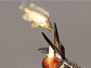 """Những cảnh tượng """"cá lớn nuốt cá bé"""" trong tự nhiên"""
