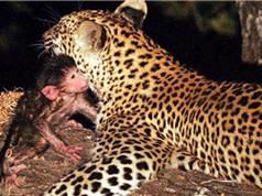 CLIP: Báo đốm chăm sóc cho khỉ như con kỳ lạ