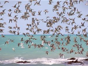 LẠ: Chim bay theo đàn càng lớn, tốc độ bay càng nhanh