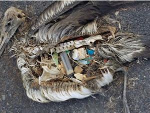 Clip: Hải âu chết hàng loạt vì rác thải của con người
