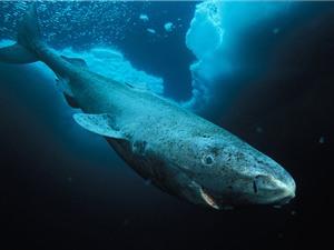 """Loài """"cá mập ngủ""""  có thể sống hơn 500 năm"""