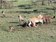 Linh cẩu hợp sức với chó rừng cướp mồi của sư tử