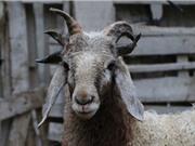 Chiêm ngưỡng con cừu có 5 chiếc sừng ở Trung Quốc