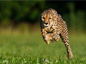 Clip: Bí quyết giúp báo gê-pa trở thành loài chạy nhanh nhất thế giới