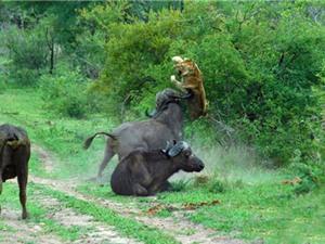"""Những pha """"phản đòn"""" cực kỳ dũng mãnh trong thế giới động vật"""