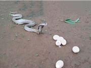 """""""Dựng tóc gáy"""" trước cảnh rắn hổ mang chúa nôn ra trứng"""
