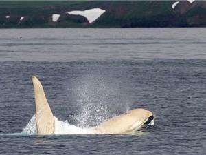 Cận cảnh chú cá voi sát thủ bị bạch tạng cực kỳ quý hiếm