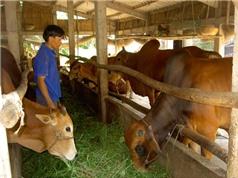 Bình Dương xây dựng mô hình lai tạo và nuôi dưỡng bò lai hướng thịt