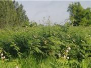 Quảng Bình diệt trừ cây mai dương bằng biện pháp cơ giới và hóa học