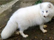 Khám phá trào lưu nuôi cáo tuyết Bắc Cực làm thú cưng ở Việt Nam