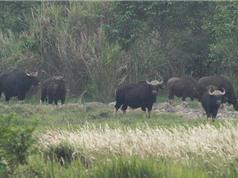 Bò tót chết không rõ nguyên nhân tại Vườn quốc gia Cát Tiên