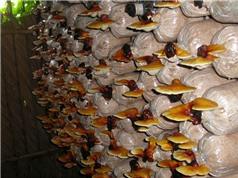 Lạng Sơn ứng dụng công nghệ cao trong sản xuất nấm linh chi